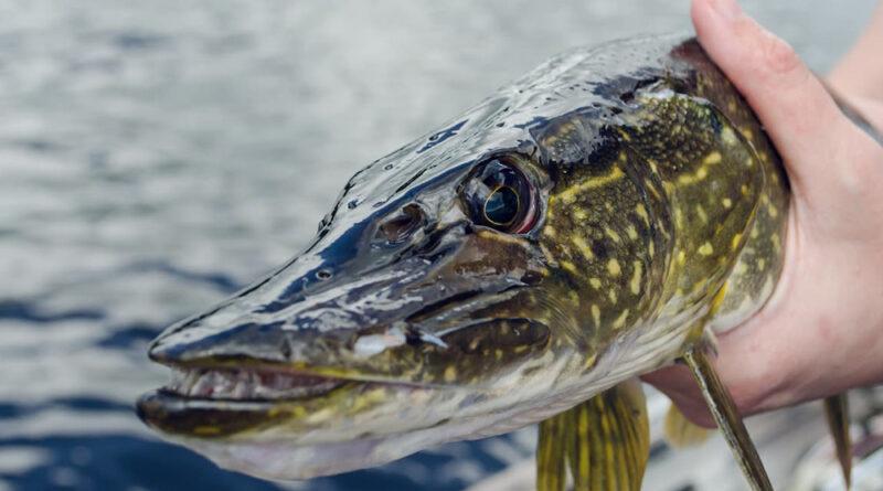 Pescuitul la stiuca