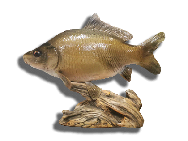 TROPHY HUNGARIAN COMMON CARP 30CM - TROFEA22